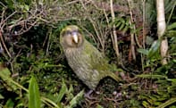 Scientists want to sequence the genomes of all known kakapo