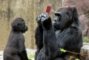 Gorilla goes hands-on with Nintendo DSi XL at the San Francisco Zoo