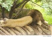 Why hibernate or 'safe sleep' mode is no longer necessary in OS X Lion (Updated)