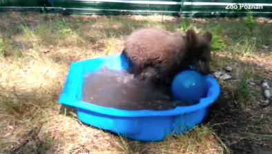 Orphaned Bear Cub Plays In Pool After Rescue
