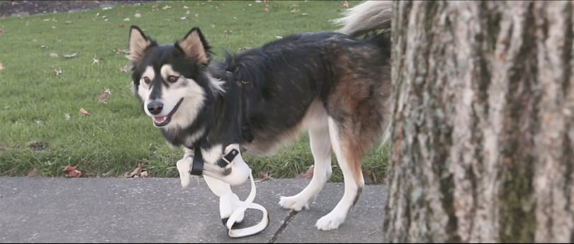 Derby the dog gets better 3D-printed paw prosthetics