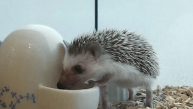 You Can Hang Out With Hedgehogs In This Tokyo Cafe