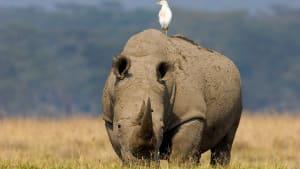 Volunteers Help Rhino Stuck in Tight Spot