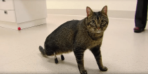 Cat gets cutting-edge prosthetic legs