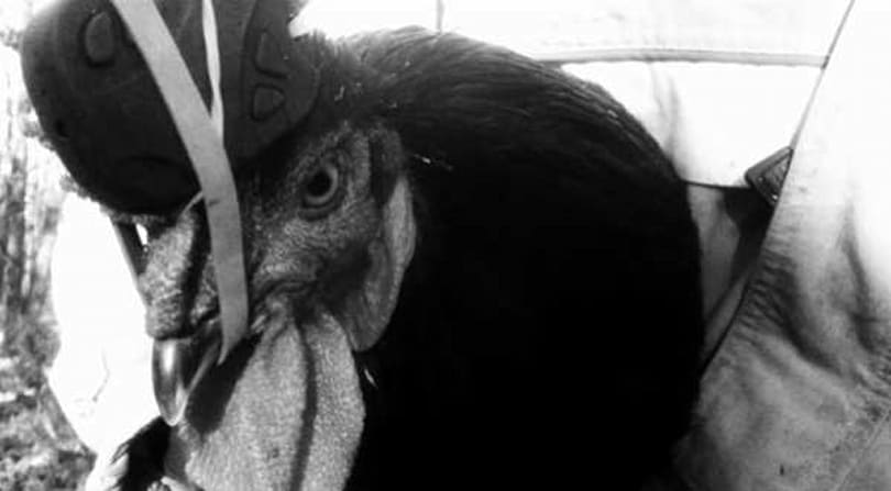 Chicken-based camera stabilization more effective than the human head mount (video)