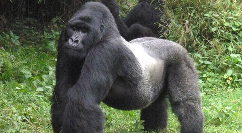 The Daily Quest: Ain't no silverback girl