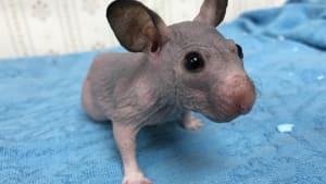 Volunteer Makes Kind Gesture for Hairless Hamster