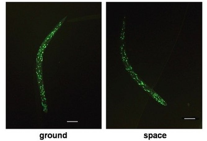 Researchers find space travel prolongs the life of worms