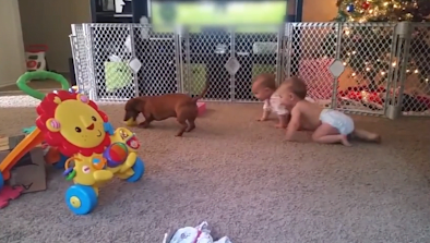 Wiener Dog Steals Babies' Rubber Ducky