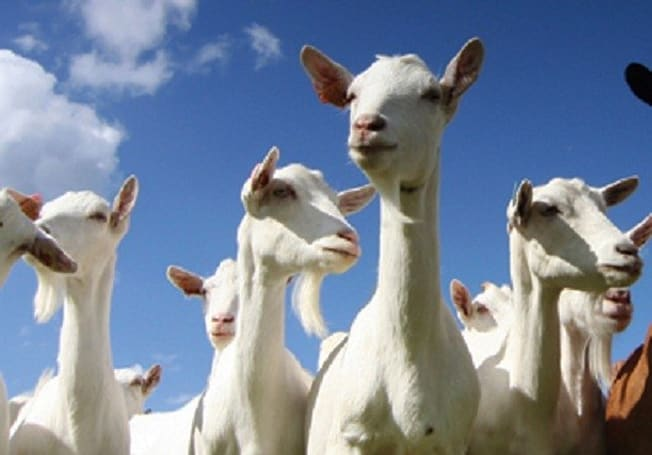 The Tattered Notebook: Linda Carlson on goat herding and community management