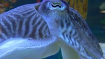 New cuttlefish-inspired display tech can change color, eat your pet guppy
