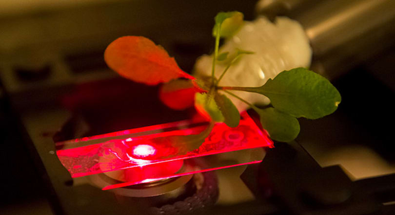 MIT's bionic plants could be used as energy factories and sensors