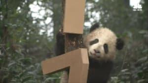 Cute Panda Cubs Celebrate the Lunar New Year