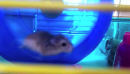 Hamster-powered miniature Strandbeest proves that sometimes, cute is a gadget