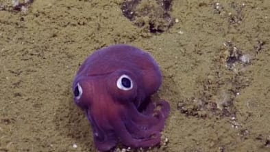 Googly-Eyed Sea Creature Is An Internet Star