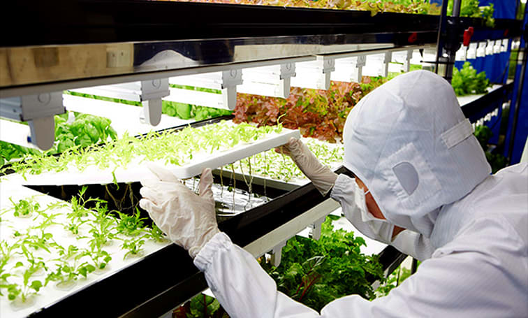 Toshiba joins other tech giants in growing super-clean vegetables