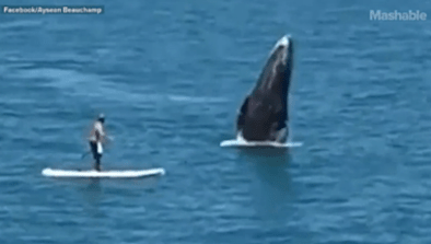 Whale Breaches Next To Paddleboarder