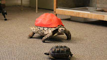 Cleopatra the tortoise gets a 3D-printed shell