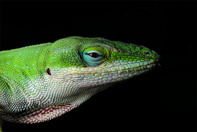 This lizard's DNA might hold the key to regenerating human tissue