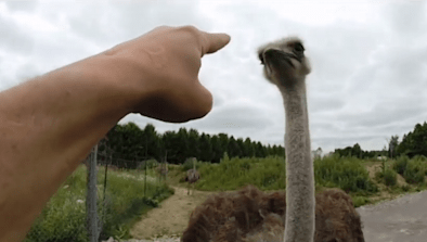 Ostrich Attacks Visitors At Safari