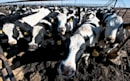 Connected cattle: how health trackers could change the beef industry