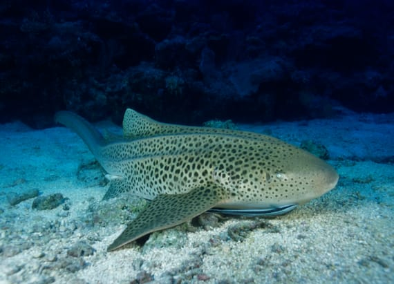 Shark's 'virgin' births stun personnel at aquarium