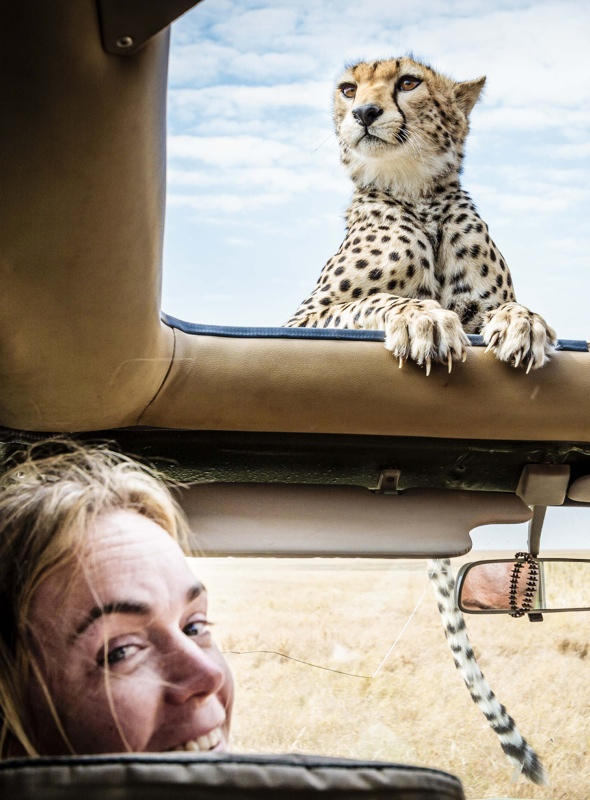 cheetah-pokes-head-sunroof-tanzania-serengeti-national-park