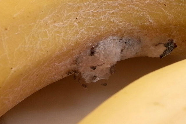 Deadly spiders in bananas