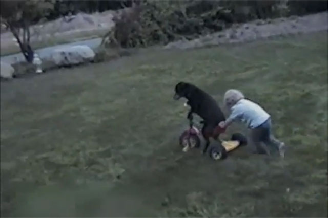 toddler pushes dog on tricycle