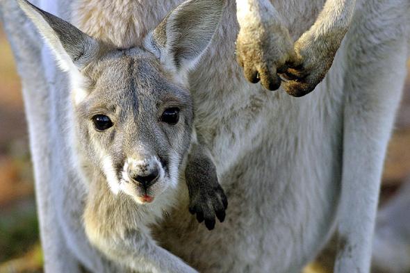 Kangaroo zoo deals