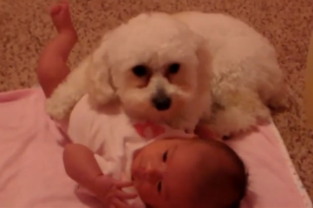 Toy poodle puppy protects baby from hair-dryer blast!