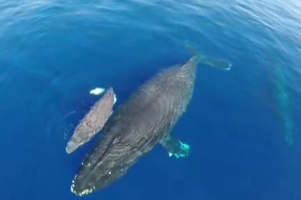 Drone-footage-dolphins-baby-whale-california-captain-dave