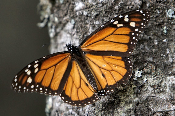 FILE - In this Dec. 9, 2011 file photo, a Monarch butterfly perches on a tree at the Sierra Chincua Sanctuary in the mountains of Mexico's Michoacan state. The number of Monarch butterflies wintering in Mexico has plunged to its lowest level since studies began in 1993. A report released on Wednesday, Jan. 29, 2014 by the World Wildlife Fund, Mexicoís Environment Department and the Natural Protected Areas Commission blames the dramatic decline on the insect's loss of habitat due to illegal logging in Mexicoís mountaintop forests and the massive displacement of its food source, the milkweed plant. (AP Photo/Marco Ugarte, File)