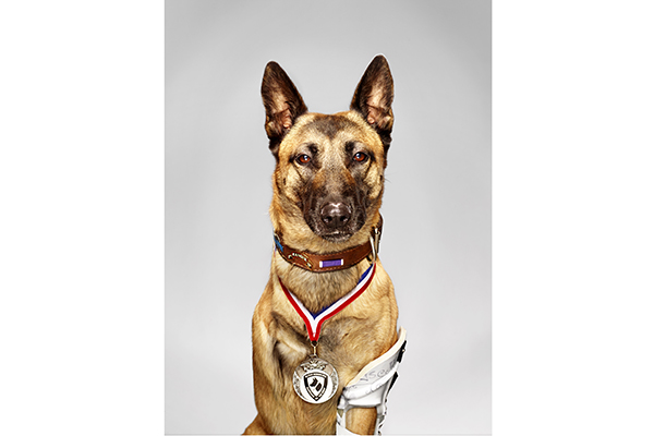 most badass dogs in the world, amazing dogs, layka belgian malinois