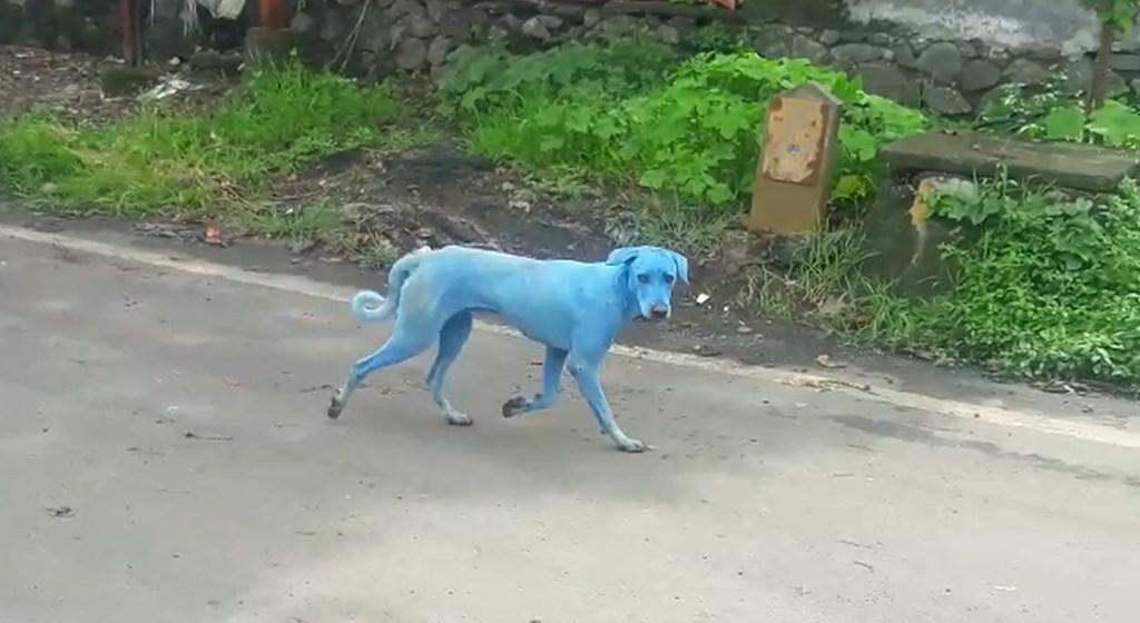 Los misteriosos perros azules de India