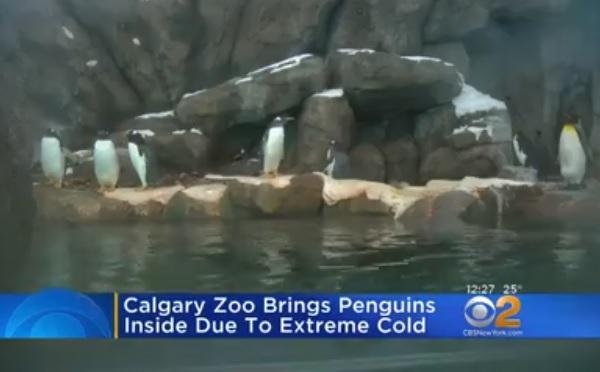 北米を襲う大寒波、カナダの動物園ではペンギンが屋内に避難