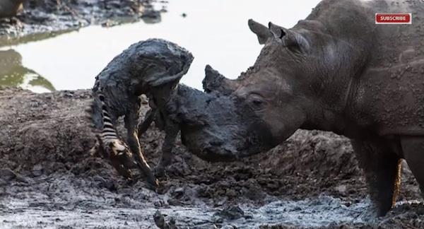 サイが衰弱していたシマウマの赤ちゃんを救出!ネット上で話題に【動画】