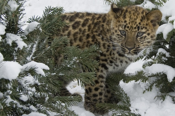 things that will make you feel less lonely, amur leopard