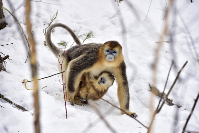 Mandatory Credit: Photo by Xinhua/REX/Shutterstock (5540469k) Golden monkeys at Dalongtan Golden monkeys Research Center in Shennongjia, central China's Hubei Province Dalongtan Golden monkeys Research Center, Shennongjia, China - 13 Jan 2016 The Shennongjia Nature Reserve is home to the rare Golden monkeys, which is on the verge of extinction and was first spotted in Shennongjia in the 1960s. The amount of Golden monkeys in Shennongjia right now has doubled since the 1980s because of better environmental protection