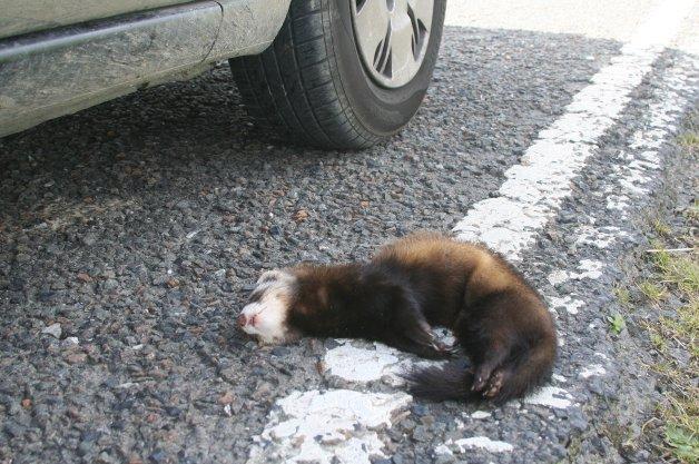 【レポート】路上ではねられた動物を食べやすくするための法案が提出