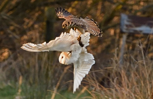 Epic battle in the sky as kestrel steals owl 39 s vole aol for Food bar owl
