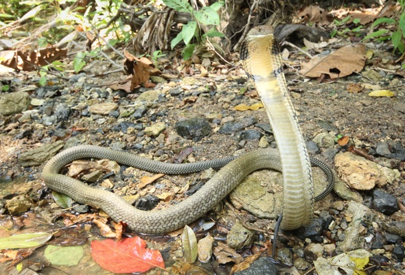 Photographer captures king cobra strike
