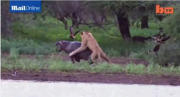 衝撃!子ライオン2匹VSカバ ブチギレたカバが覚醒、最強動物の本領発揮!【動画】