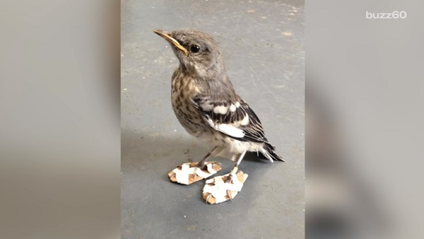 足の治療のため「スノーシューズ」を履いた小鳥