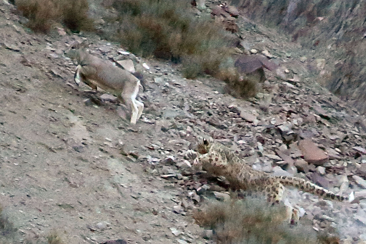 Snow leopard hunting prey - photo#2