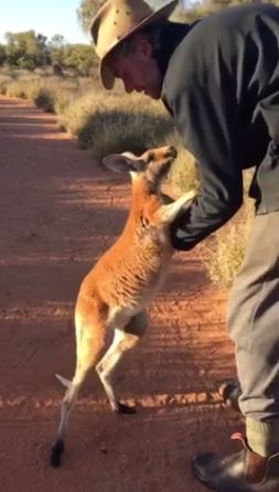 Australias Clingiest Cuddliest Kangaroo Is Now A Feisty Teenager - Kangaroo sanctuary alice springs