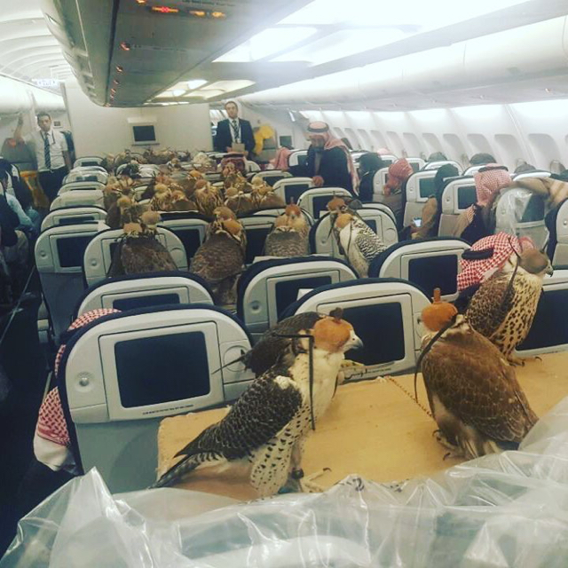 Saudi prince buys plane tickets for his 80 birds of prey