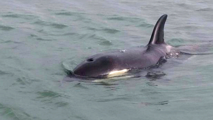 Plea to rescue baby orca seen alone gains momentum