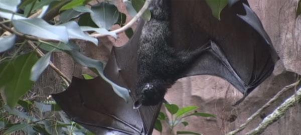 全長1.5メートル!「MEGAバット」の異名をもつオオコウモリがマジでデカすぎる【動画】