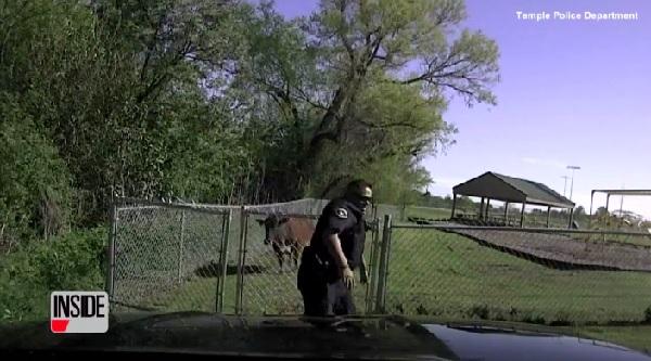 大柄の警察が牛の突進を何とかかわす瞬間を捉えた車載カメラ映像!